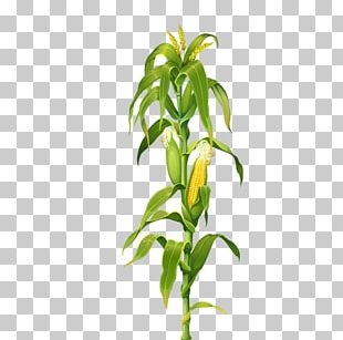 Maize Corn On The Cob Plant Drawing PNG