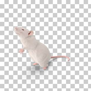 Mouse Brown Rat Laboratory Rat Murids Rodent PNG