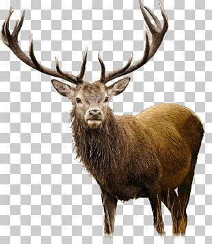 White-tailed Deer Elk PNG