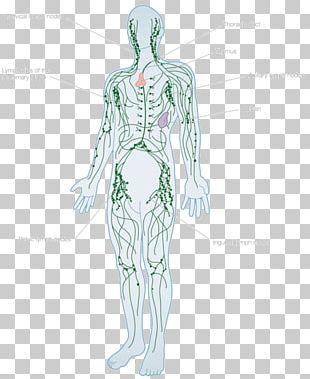 Lymphatic System Human Body Lymph Node Anatomy Lymphatic Vessel PNG