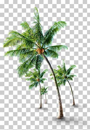 Coconut Arecaceae Tree PNG
