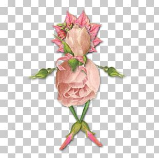 Garden Roses Portable Network Graphics Photograph Graphics PNG