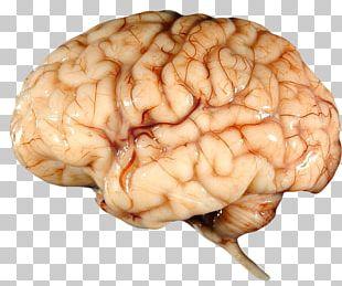 Human Brain Human Body Albert Einstein's Brain Nervous System PNG
