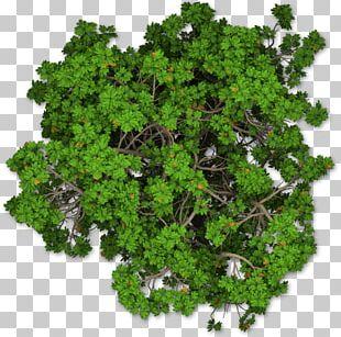 Mediterranean Cypress Tree Shrub Pine PNG