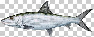 Sardine International Game Fish Association Bonefish Fishing PNG