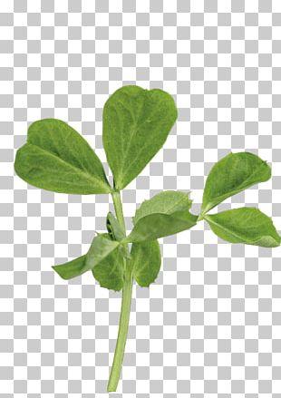 Leaf Pea Shoot Plant Stem Basil PNG