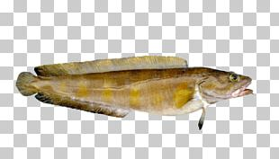 Norway Atlantic Cod Fish Seafood PNG