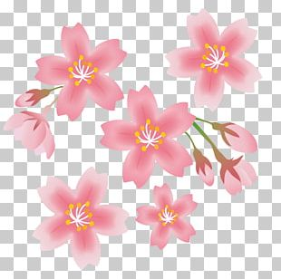 Cherry Blossom Spring Flower PNG