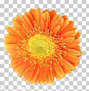 Orange Chrysanthemum Transvaal Daisy Flower PNG