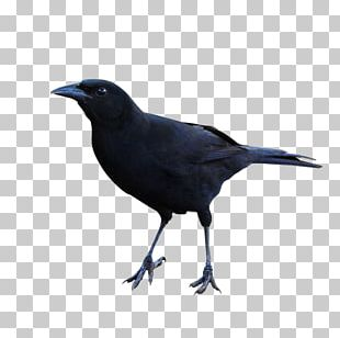 Rook American Crow Common Raven Bird New Caledonian Crow PNG