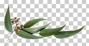 Eucalyptus Oil Essential Oil Eucalyptus Globulus Olbas Oil PNG