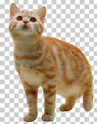Kitten American Wirehair PNG