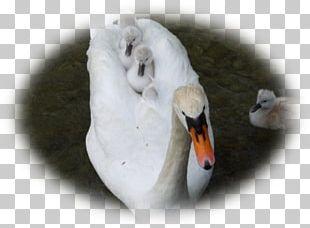 Cygnini Duck Beak Infant PNG