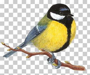 Bird Great Tit Mésange Drawing Great Spotted Woodpecker PNG