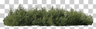 Shrub Tree Juniper Plant PNG