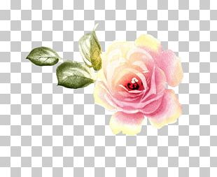 Garden Roses Centifolia Roses Floral Design Flower PNG