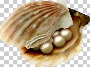 Cockle Oyster Pearl Pectinidae Seashell PNG