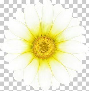 Daisy Family Common Daisy Chrysanthemum Oxeye Daisy Transvaal Daisy PNG