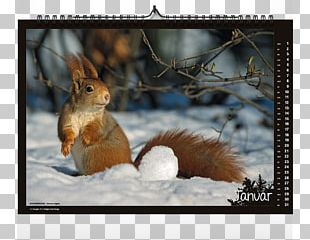 American Red Squirrel Western Gray Squirrel Chipmunk PNG