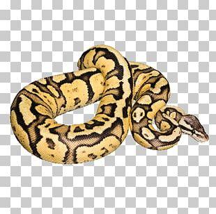 Snake Ball Python Reptile Stock Photography PNG