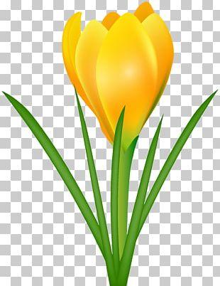 Crocus Flavus Crocus Chrysanthus Crocus Vernus Flower PNG