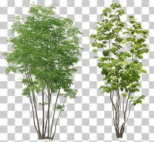 Populus Alba Tree Arecaceae PNG