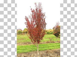 Sugar Maple Big Trees Inc Shrub Nursery PNG