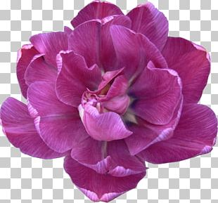 Flower Tulip Lilac Peony Violet PNG