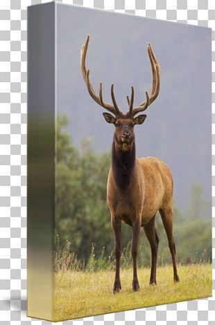 Elk White-tailed Deer Antler Alaska Wildlife Conservation Center Reindeer PNG
