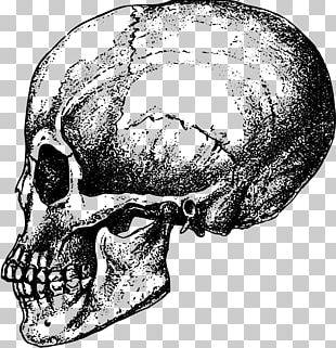 Human Skull Bone Skeleton Anatomy PNG