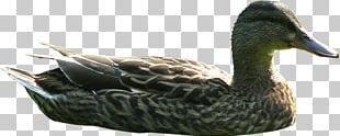 Mallard Goose Duck Texture Mapping Rhinoceros PNG