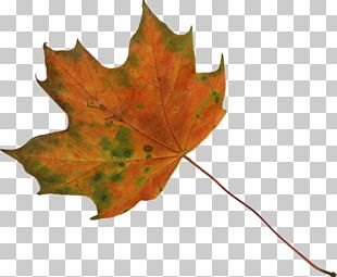 Sugar Maple Japanese Maple Maple Leaf PNG