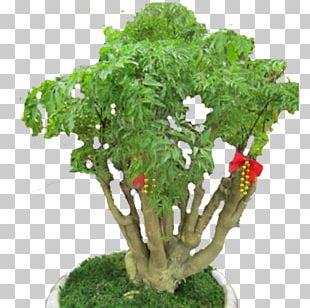 Flowerpot Tree Leaf Vegetable Herb Houseplant PNG