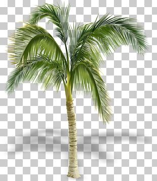 Arecaceae Stock Photography Tree PNG