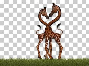 Northern Giraffe Mammal Pixabay Illustration PNG