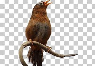 Bird Chinese Hwamei Pet Taiwan Hwamei PNG