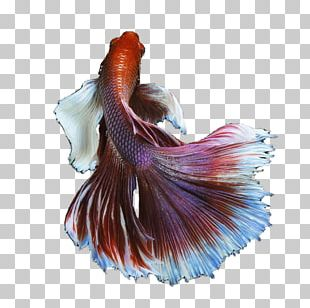 Siamese Fighting Fish Goldfish PNG