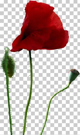 Common Poppy Drawing PNG