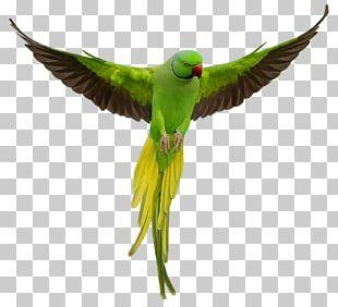 Parrot Lovebird Rose-ringed Parakeet PNG