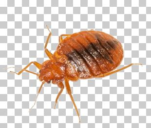 Cockroach Mosquito Insect Rodent Bed Bug PNG