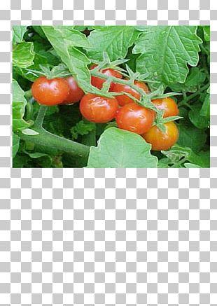 Bush Tomato Palawija Crop Food PNG