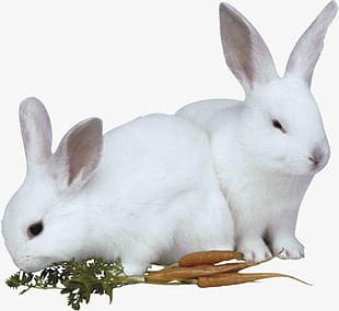 Bunny With Carrot PNG