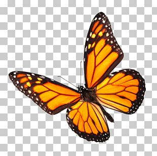 Monarch Butterfly Insect Stock Photography Pollinator PNG
