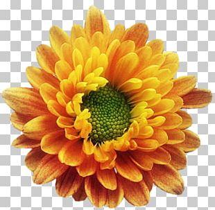 Chrysanthemum Birth Flower Transvaal Daisy PNG