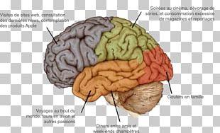 Agy Human Brain Nervous System Neuropsychology PNG