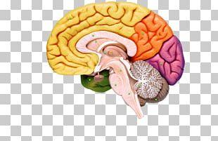 Human Brain Nervous System Human Anatomy PNG
