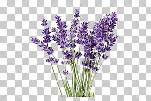 English Lavender Lavandula Latifolia Lavender Oil Plant French Lavender PNG