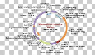 Expression Cloning Plasmid Gene Expression PNG