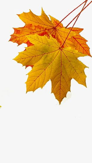 Golden Autumn Leaves PNG