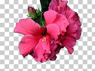 Shoeblackplant Cut Flowers Pink M Petal Annual Plant PNG